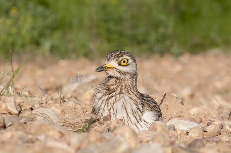 Burhinus oedicnemus Eurasian thick knee, Eurasia Stone-curlew, Stone Curlew. Resting on the ground royalty free stock photo
