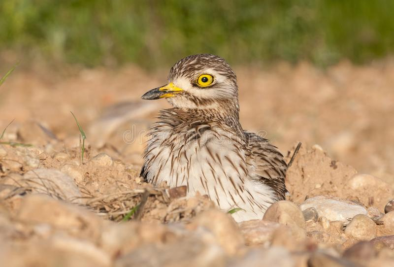 Burhinus oedicnemus Eurasian thick knee, Eurasia Stone-curlew, Stone Curlew. Resting on the ground royalty free stock photos
