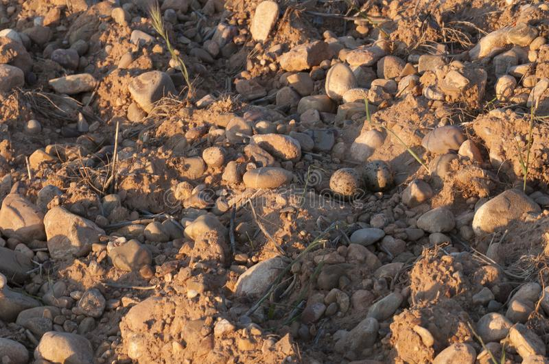 Burhinus oedicnemus Eurasian thick knee, Eurasia Stone-curlew, Stone Curlew. Nest with eggs in farm land stock photography