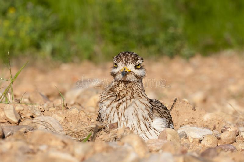 Burhinus oedicnemus Eurasian thick knee, Eurasia Stone-curlew, Stone Curlew resting on the ground. Burhinus oedicnemus Eurasian thick knee, Eurasia Stone-curlew stock images