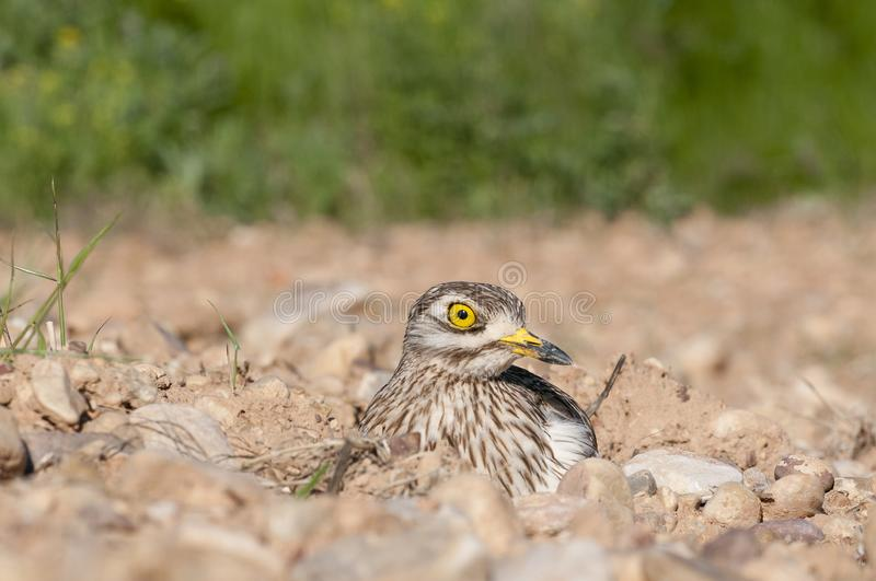 Burhinus oedicnemus Eurasian thick knee, Eurasia Stone-curlew, Stone Curlew r. Esting on the ground stock photography
