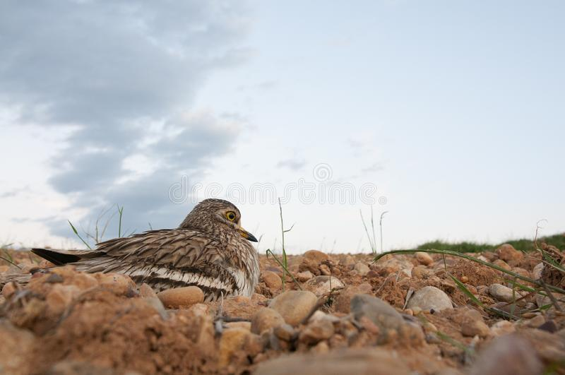 Burhinus oedicnemus Eurasian thick knee, Eurasia Stone-curlew, Stone Curlew resting on the crop floor. With wide angle royalty free stock image
