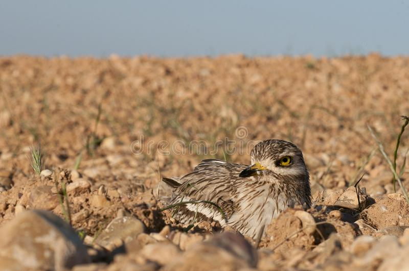 Burhinus oedicnemus Eurasian thick knee, Eurasia Stone-curlew, Stone Curlew resting on the crop floor. With wide angle stock image