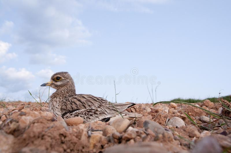 Burhinus oedicnemus Eurasian thick knee, Eurasia Stone-curlew, Stone Curlew resting on the crop floor. With wide angle stock photos