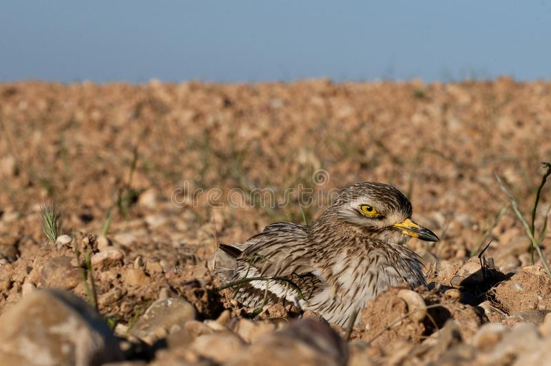 Burhinus oedicnemus Eurasian thick knee, Eurasia Stone-curlew, Stone Curlew resting on the crop floor. With wide angle royalty free stock photography