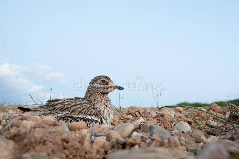 Burhinus oedicnemus Eurasian thick knee, Eurasia Stone-curlew, Stone Curlew resting on the crop floor,. With wide angle royalty free stock photos