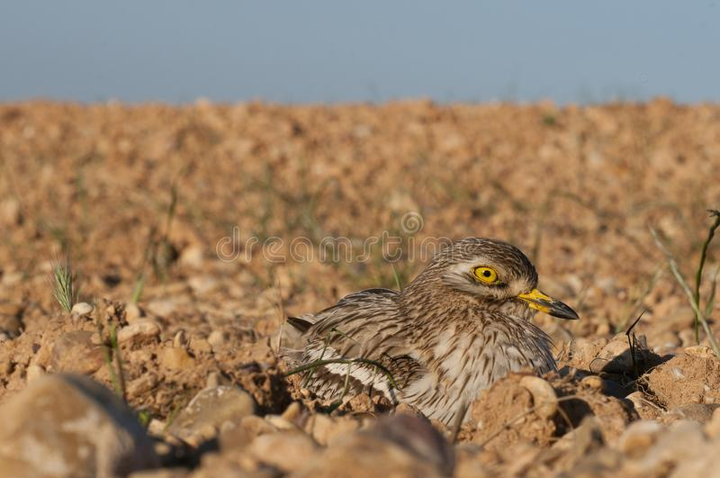 Burhinus oedicnemus Eurasian thick knee, Eurasia Stone-curlew, Stone Curlew  with wide angle. Burhinus oedicnemus Eurasian thick knee, Eurasia Stone-curlew royalty free stock photos