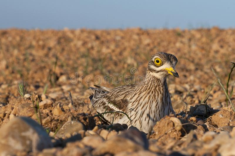 Burhinus oedicnemus Thick-knee Eurasia, Eurasia Stone-curlew, Stone Curlew. In farmland royalty free stock images