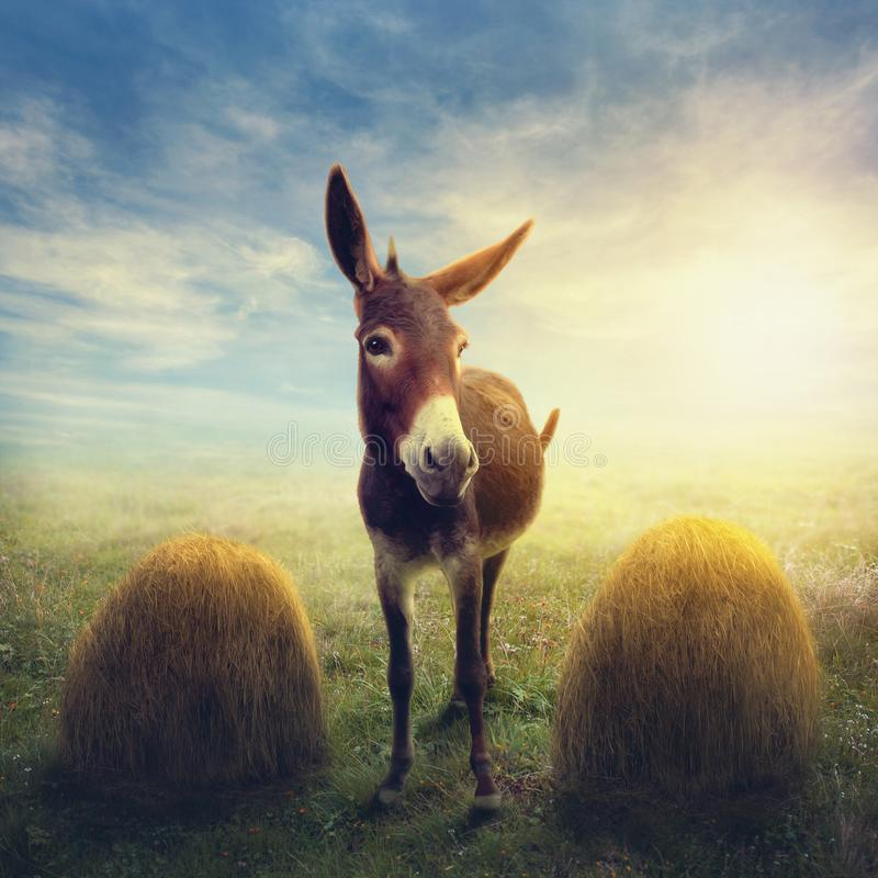Buridan-` s Esel zwischen zwei Stapel Heu lizenzfreie stockfotos