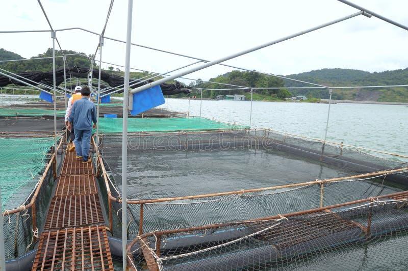 Burkultur av störfisken i Tuyen Lam sjön Flera art av störer skördas för deras fiskrom, som göras in i cavi arkivfoton