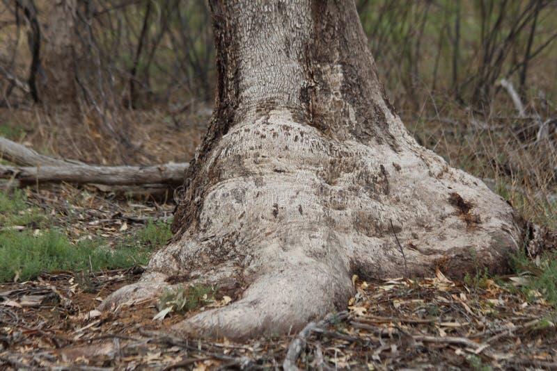 Burl da árvore da caixa fotos de stock