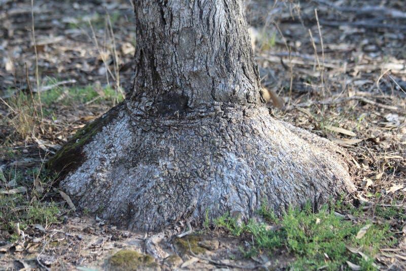 Burl da árvore da caixa imagens de stock