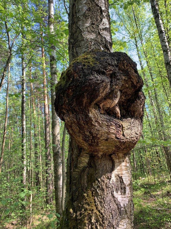 Burl ou departamento ou para esmerilar o crescimento deformado em um tronco de árvore do vidoeiro fotos de stock