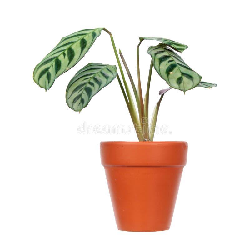 Burle-marxii de Ctenanthe ou planta da ora??o do fishbone no vaso de flores isolado no fundo branco imagens de stock