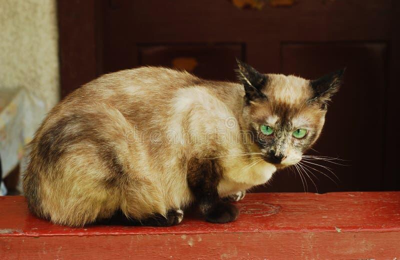 Burma cat. Green eyed domestic burma cat stock photo