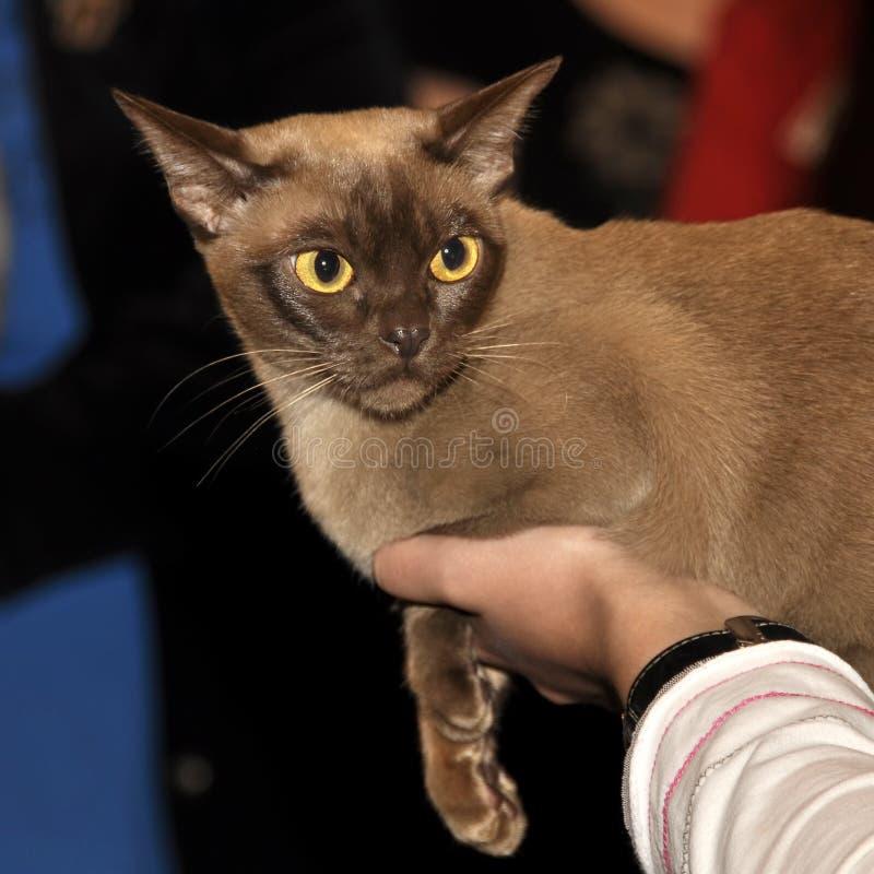 Burma cat. Angry beautiful Burma cat on exhibition royalty free stock image