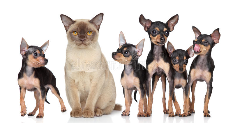 Burma cat with group toy-terriers dogs. On white background royalty free stock image