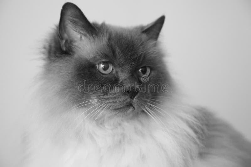 Burma Cat Head Portrait. Close up head portrait of a beautiful purebred Burma cat with alert facial expression stock photos