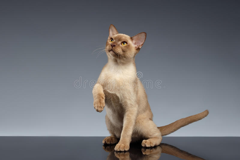 Burma Cat Looking up and raising paw on Gray. Background royalty free stock image