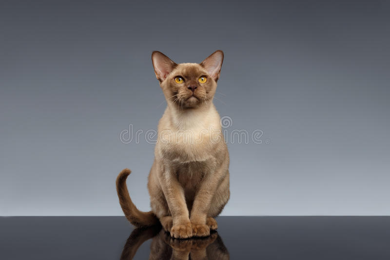 Burma Cat Sits and Looking in Camera on Gray. Background stock image