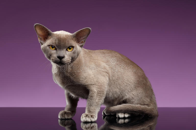 Burma Cat Sits and Looking in Camera on purple royalty free stock images
