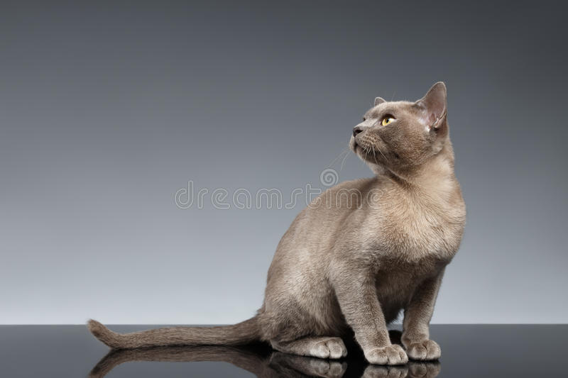 Burma Cat Sits and Looking up on Gray royalty free stock photography