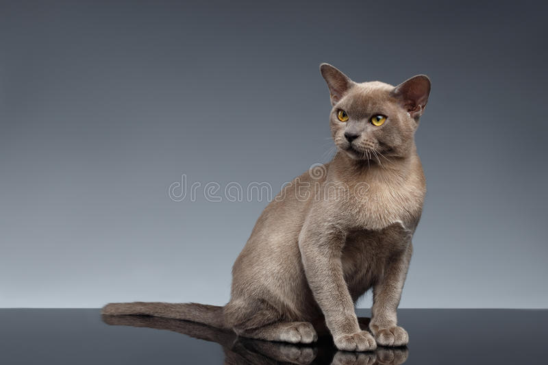 Burma Cat Sits and Looking up on Gray royalty free stock photo