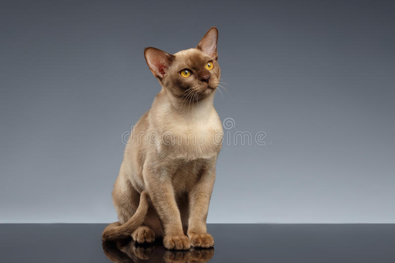 Burma Cat Sits and Looking up on Gray stock image
