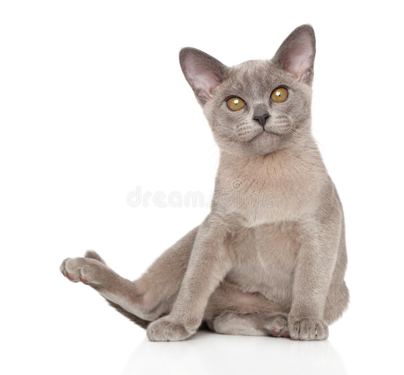 Burma cat yoga on white background. Animal themes. Studio shooting royalty free stock photography