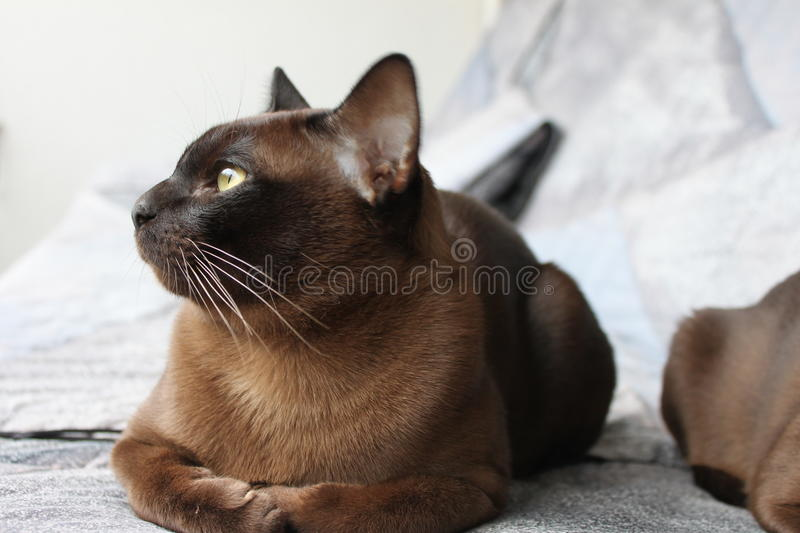Burma Cat. Young burma cat get rest and look far royalty free stock photography