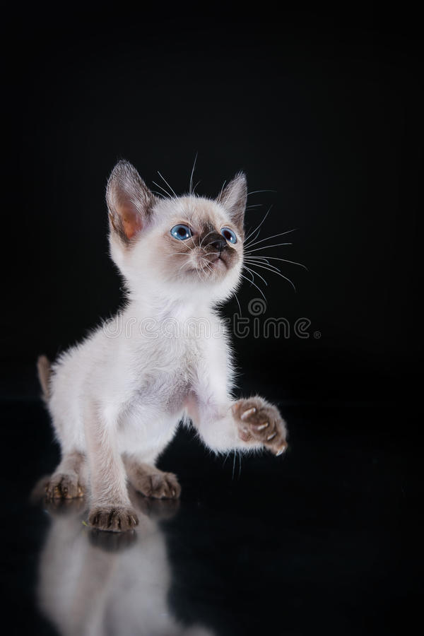Burma kitten. Portrait on a black background royalty free stock images