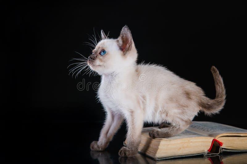 Burma kitten. Portrait on a black background stock image