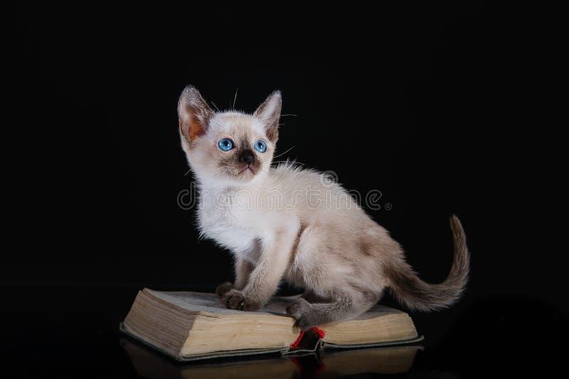 Burma kitten. Portrait on a black background stock images
