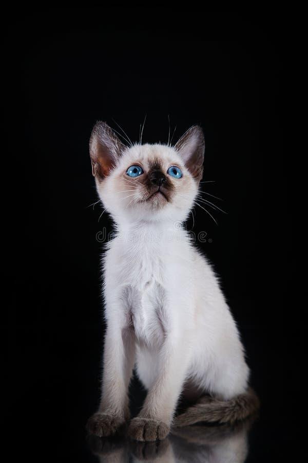 Burma kitten. Portrait on a black background royalty free stock image