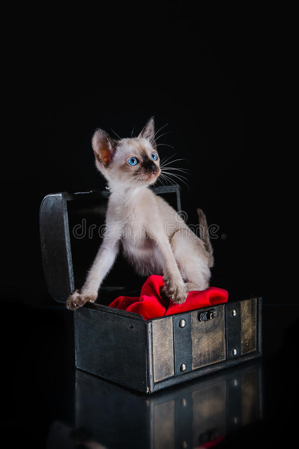 Burma kitten. Portrait on a black background stock photo