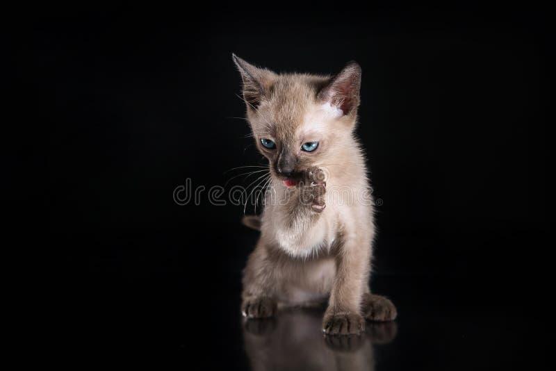 Burma kitten. Portrait on a black background royalty free stock photo