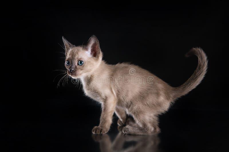 Burma kitten. Portrait on a black background stock photos