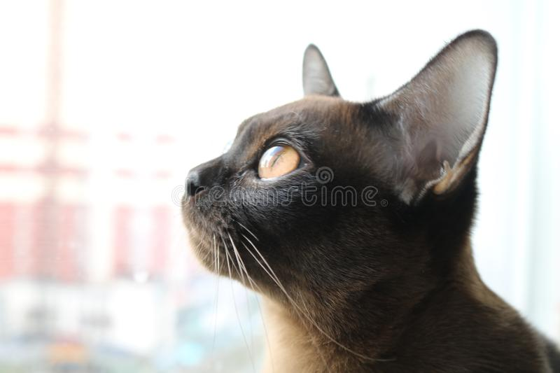 Burman cat. Cat, looking through the window stock images