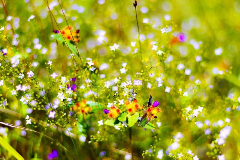 Burmania-coelestris Blume mit bokeh stockbild