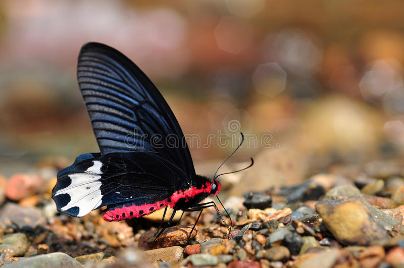 Burmese batwing butterfly. Of thailand background stock photography