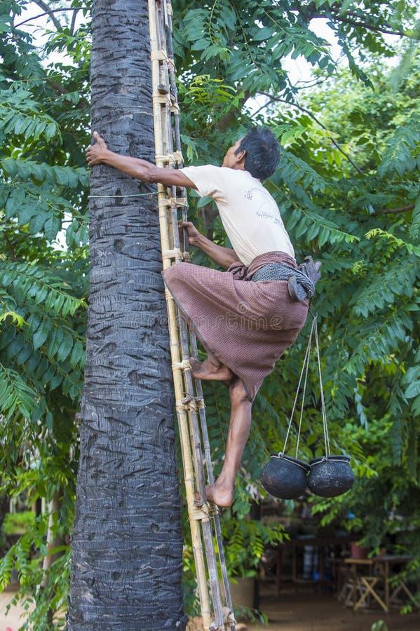 Burmese bonde som klättrar en palmträd arkivfoto