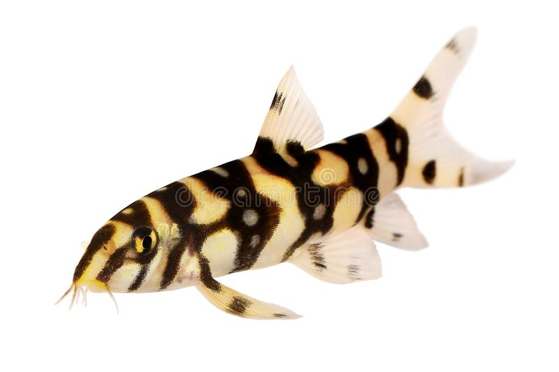 Burmese border loach catfish polka dot loach Botia kubotai aquarium fish. Fish royalty free stock image
