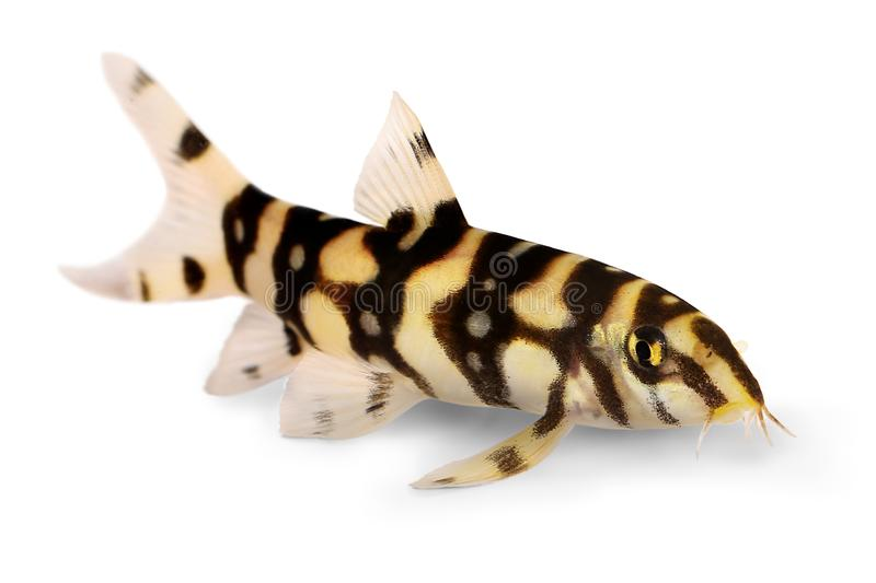 Burmese border loach catfish polka dot loach Botia kubotai aquarium fish. Fish stock photography