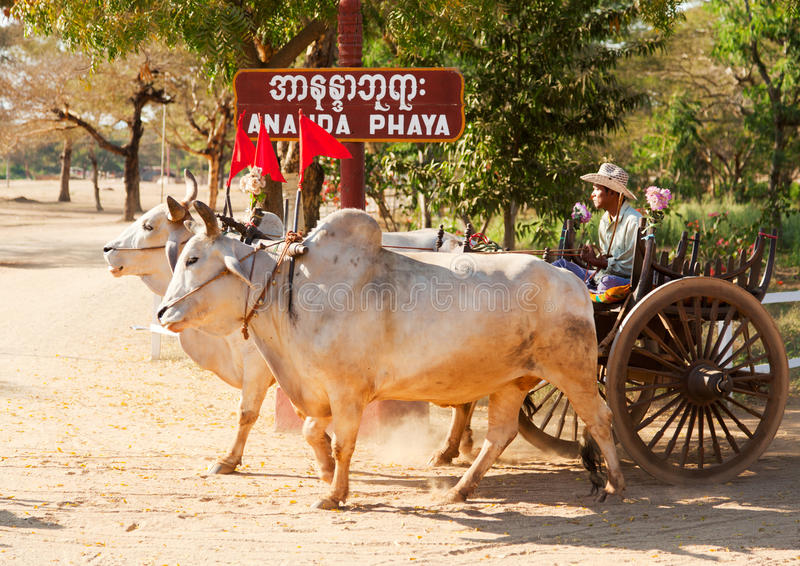 Burmese bull cart, Bagan, Myanmar royalty free stock photography