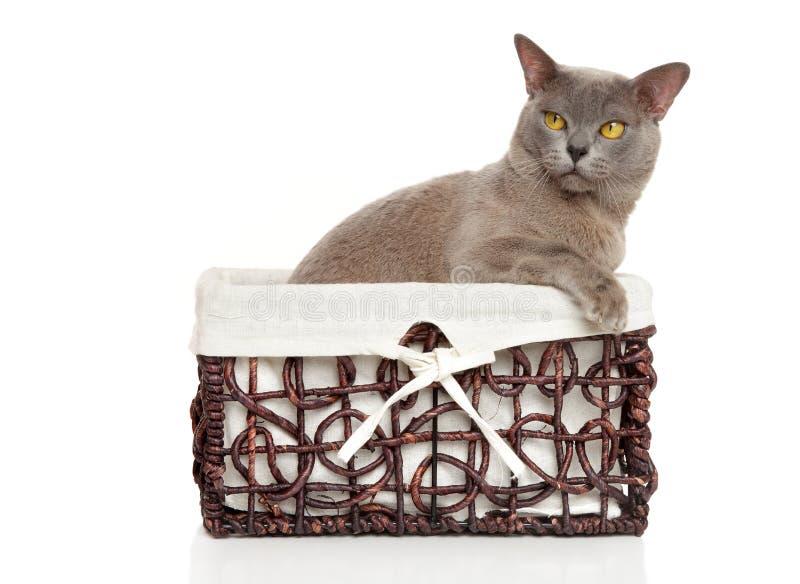 Burmese Burma cat in basket. On a white background stock photo