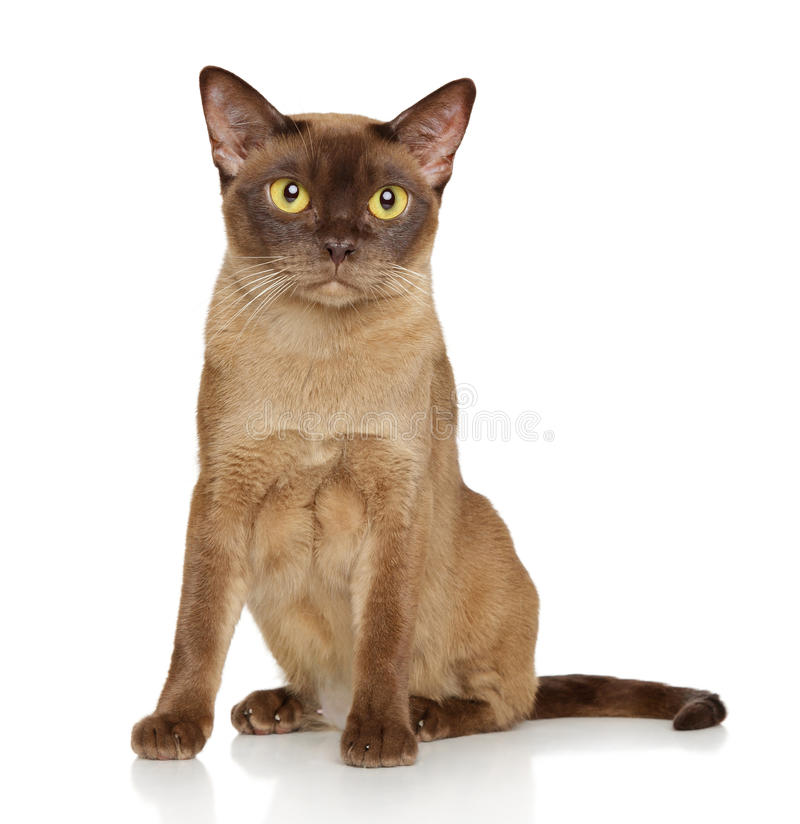 Burmese burma cat. Burmese cat sits in front of white background royalty free stock images