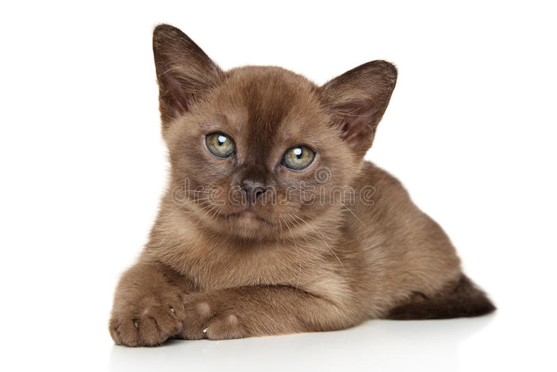 Burmese, burma kitten royalty free stock photos