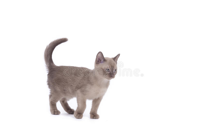 Burmese cat. Pretty little Burmese breed cat of pale color(straw-coloured). isolated over white background stock photos