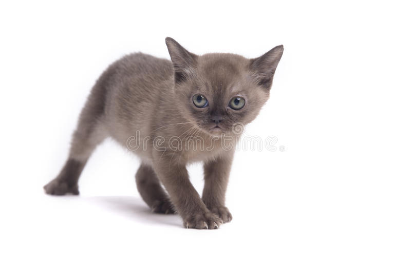 Burmese cat. Pretty little Burmese breed cat of pale color(straw-coloured). isolated over white background stock image