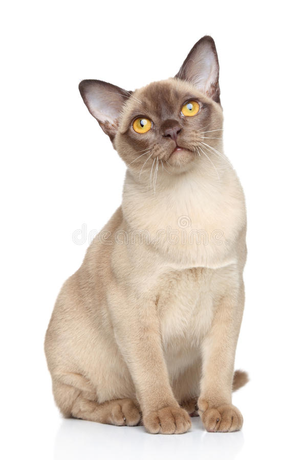 Burmese cat. Sits on a white background stock image